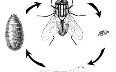 Crusting: Manure & Flies